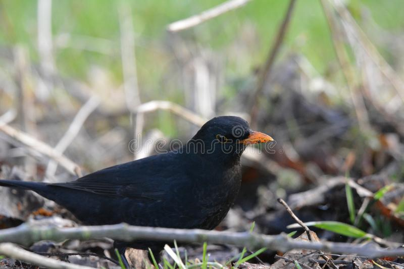 Black-bird in Abcoude in the Netherlands. Black-bird walking on the ground, February, winter location: Abcoude the netherlands royalty free stock photos