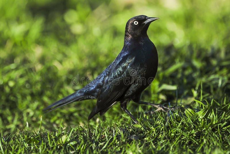 Black Bird walking royalty free stock photography