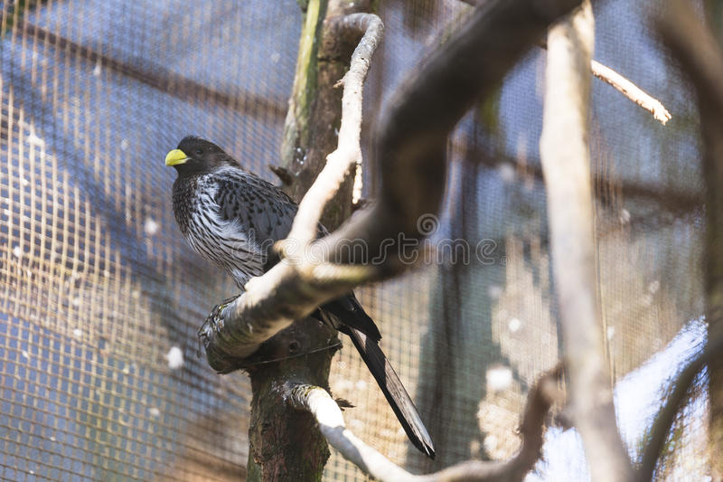 Black Bird with Yellow Beak stand on the rail in the cage in Padmaja Naidu Himalayan Zoological Park at Darjeeling, India.  stock photos