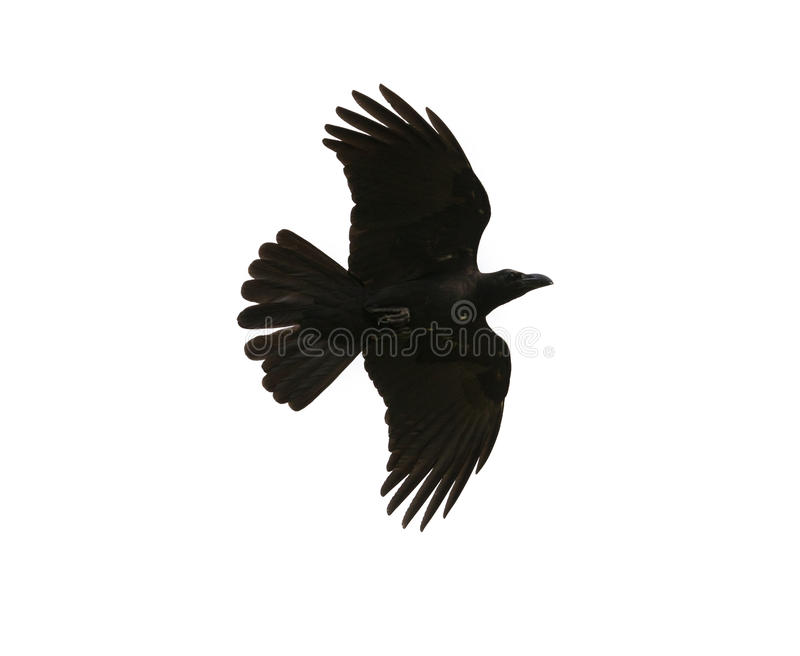 Black birds crow flying mid air show detail in under wing feather isolated white background stock images