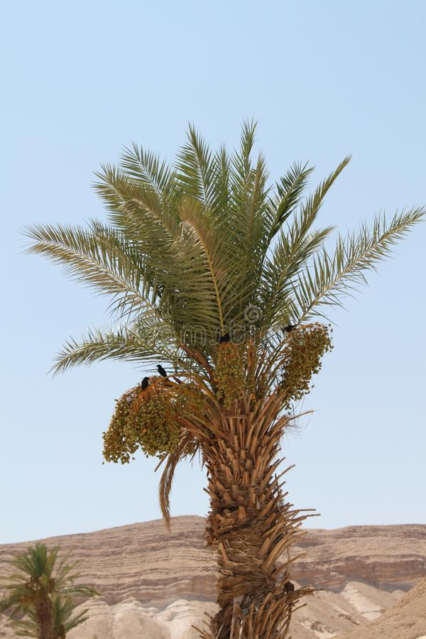 Black Birds on a Palm Tree with Dates royalty free stock images