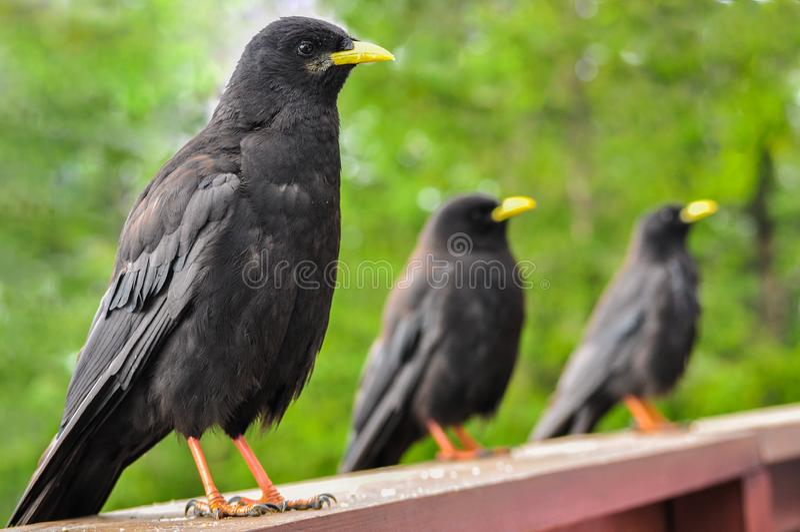 Black birds with yellow beak. And orange legs aligned for food stock photo