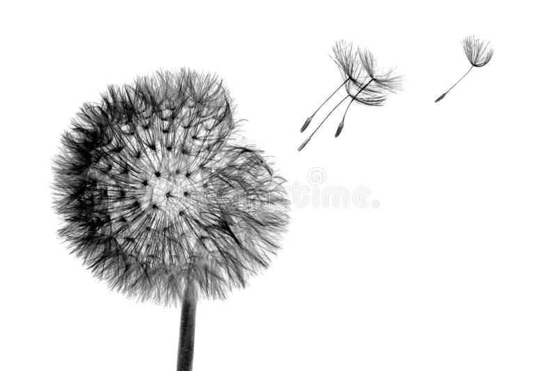 Black bloom head Dandelion flower with flying seeds in wind isolated on white background stock image