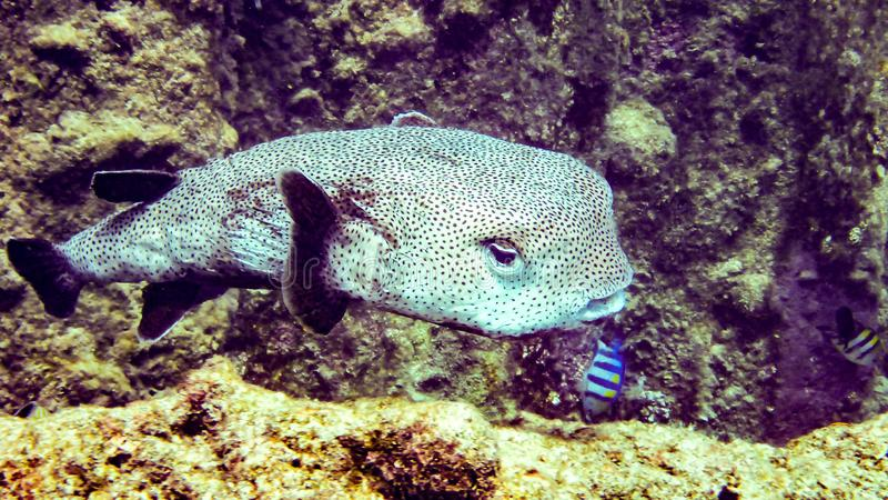 Black blotched porcupine fish in Maldives. stock images