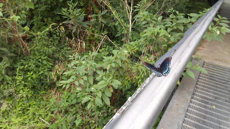 Black and Blue Shallowtail Butterfly stock image