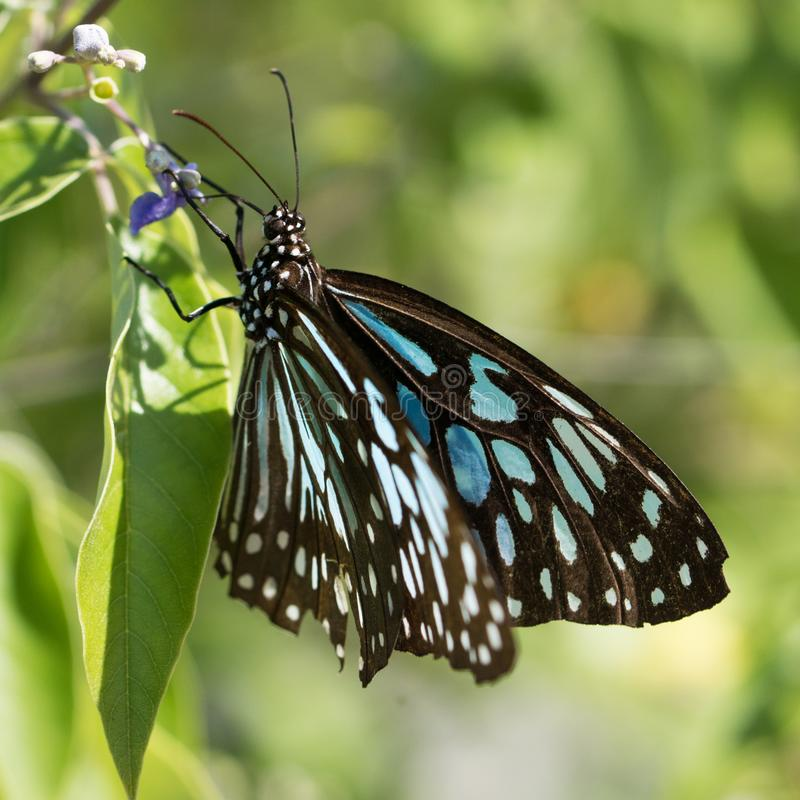 Black and blue butterfly sitting on green leaves royalty free stock photos