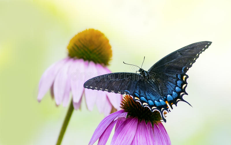Black and Blue Spicebush Swallowtail Butterfly on flower stock photos
