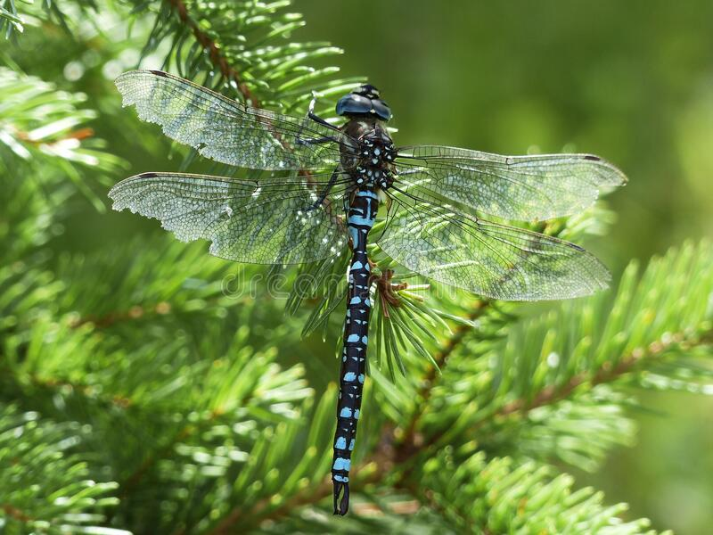 Black Blue And White Dragonfly Free Public Domain Cc0 Image