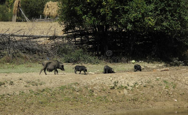 Black boar family is walking along the green grass in the wild. stock images