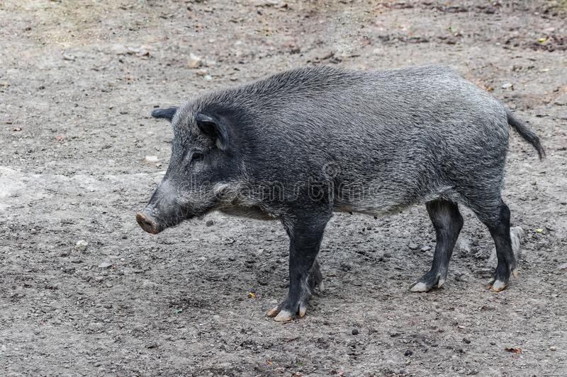 Black boar is looking for prey. Wild animals in nature. royalty free stock photos