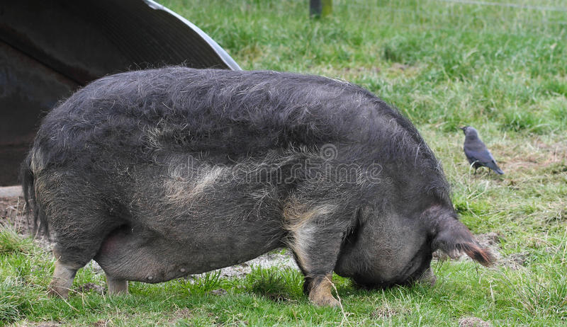 Download Black Boar Pig stock photo. Image of tail, black, grizzly - 26037740