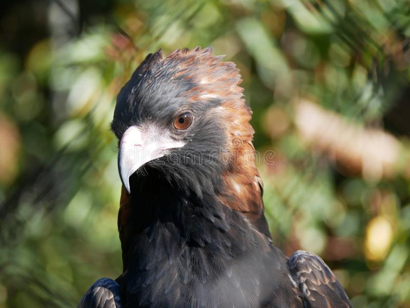Black breasted buzzard royalty free stock photo
