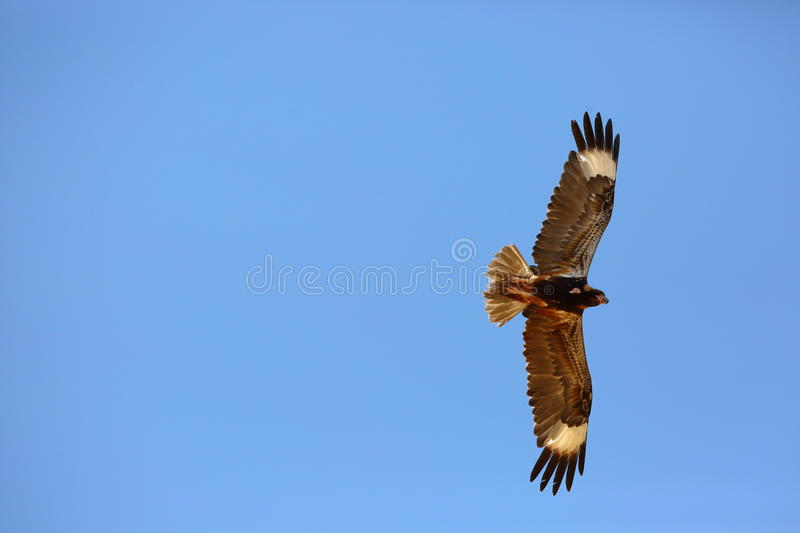 Black-breasted Buzzard stock photography