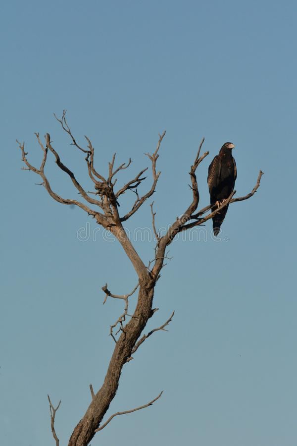 Black-breasted buzzard sitting on a tree branch in the outback of Australia stock photography