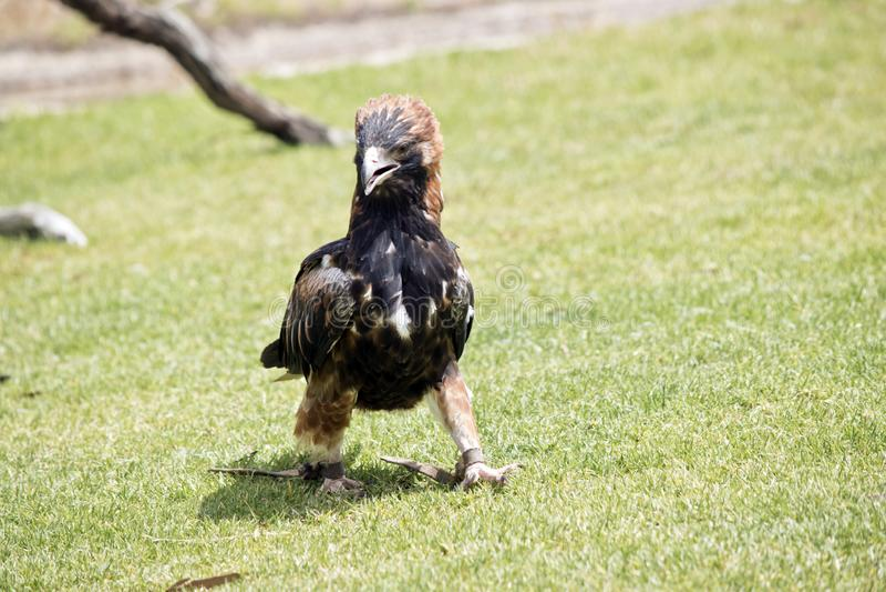 Black breasted buzzard stock photos