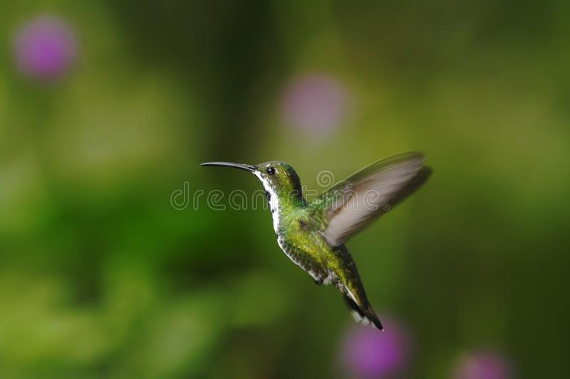 Black-breasted mango, hovering in the air, garden, mountain tropical forest, Colombia, bird on green clear background, beautiful. Hummingbird, green bird with stock image