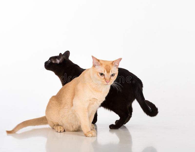 Black and Bright Brown Burmese cats Couple. Isolated on white background. Black and Bright Brown Burmese cats Couple royalty free stock photography