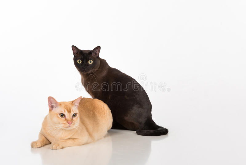 Black and Bright Brown Burmese cats Couple. Isolated on white background. Black and Bright Brown Burmese cats Couple royalty free stock images