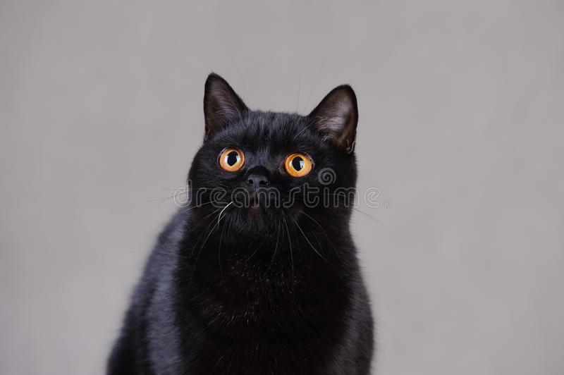 Download Black  British cat stock photo. Image of household, head - 23694902