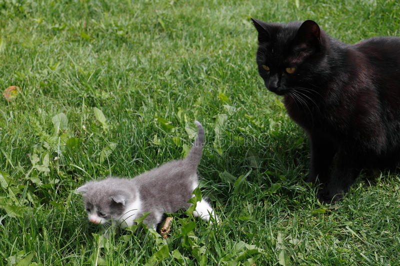 Download Black British Purebred Mother Cat And Newborn Baby Stock Photo - Image: 19533502