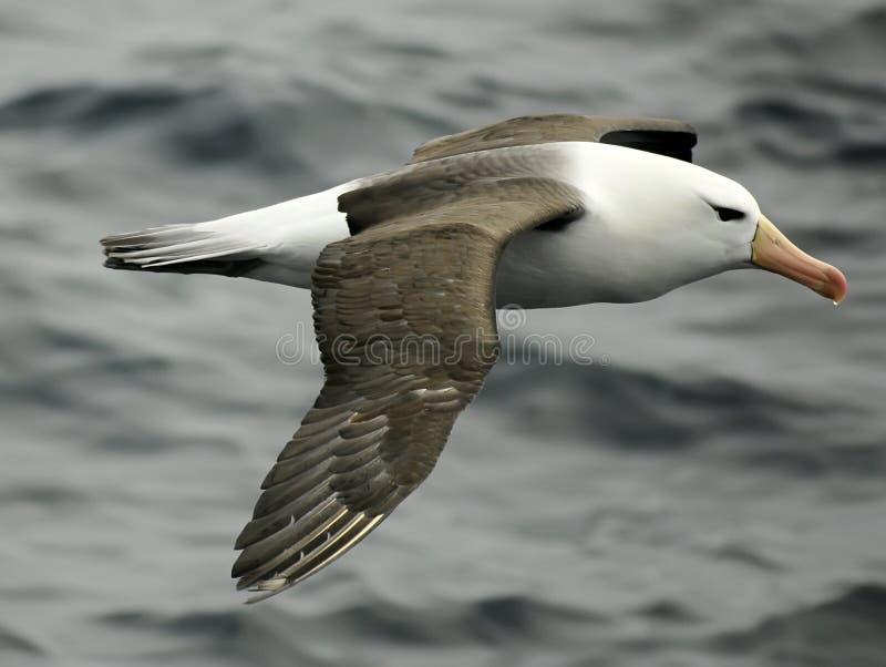 Black-browed Albatros stockbild