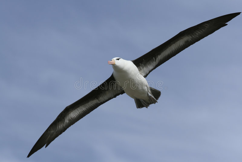 Black-browed Albatros stockfoto