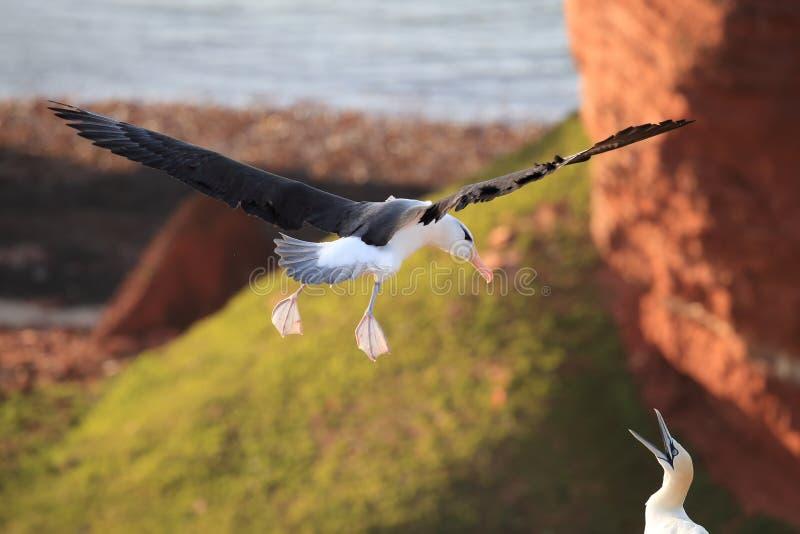 Black-browed Albatros ( Thalassarche melanophris ) or Mollymawk Helgoland Island Germany stock photos