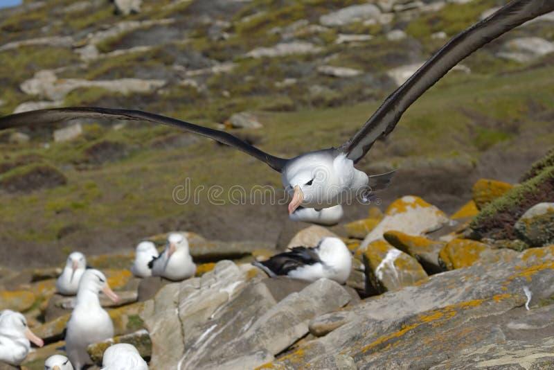 Black-browed albatross (Diomedea melanophris) stock photo