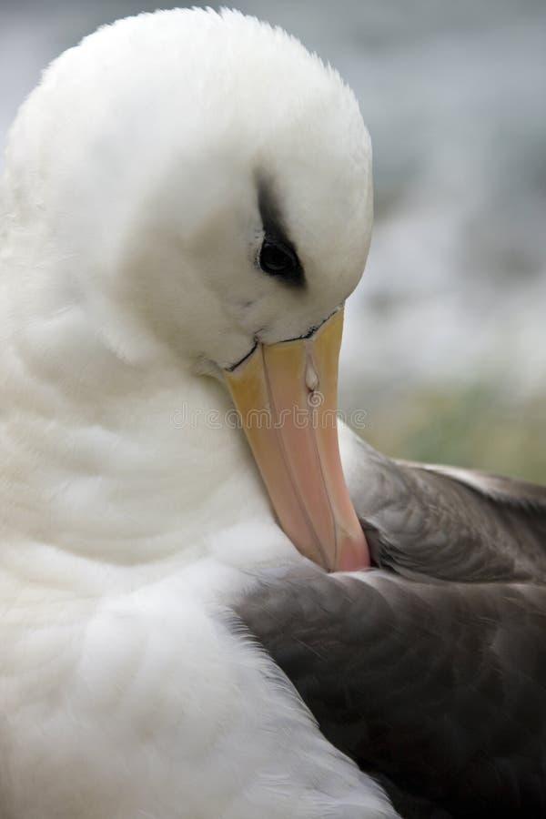 Download Black-browed Albatross  - Falklands Islands Stock Photo - Image: 15158828