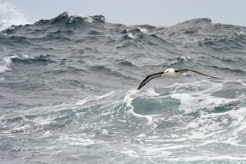 Black-browed Albatross. Flying over waves royalty free stock photography