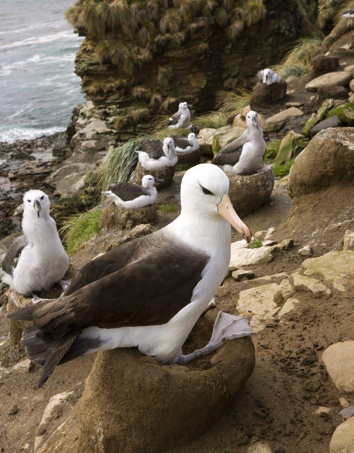 Download Black Browed Albetross - Falkland Islands Stock Image - Image: 18749395