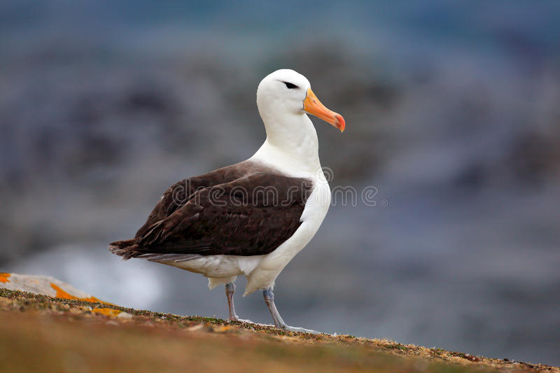 Black-browed albratross. Albatross sitting on the cliff. Albatross with dark blue water in the background. Albatross from Falkland stock photography