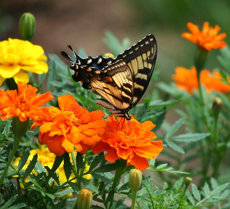 Black and Brown Butterfly on Top of Orange Flower royalty free stock image