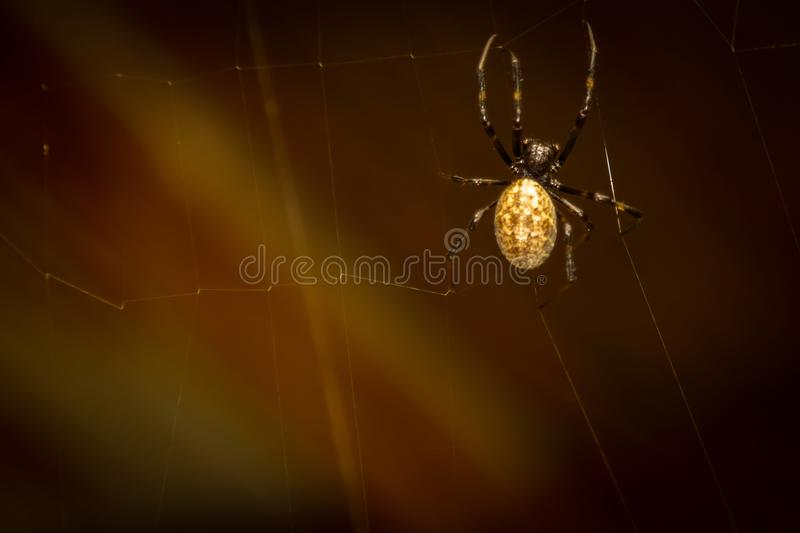 A black and brown colour spider is photographed close up, macro picture,Natural background,spider and spider web. Spiders are crea. A black and brown colour royalty free stock photo