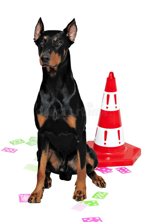 Black and brown doberman royalty free stock photography