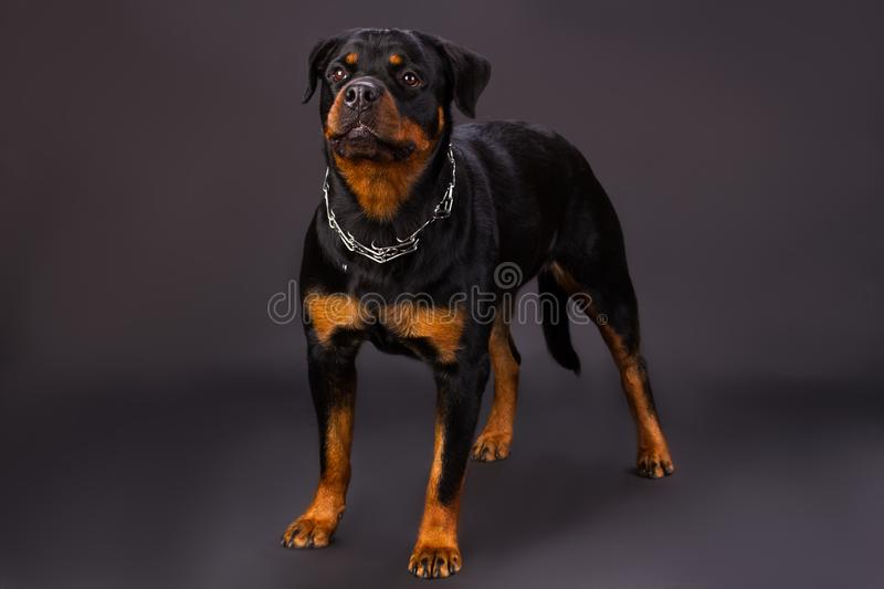 Black and brown dog, rottweiler portrait in studio. stock photography