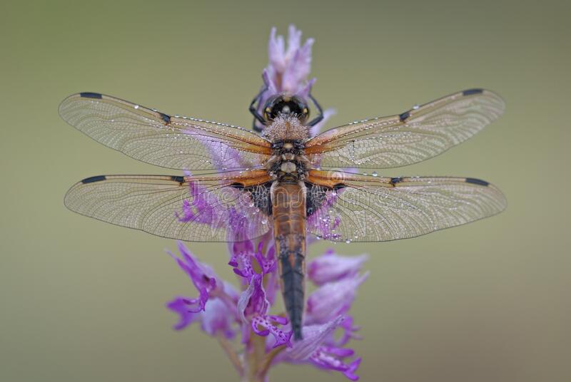 Black and Brown Dragonfly on Purple and Pink Flowers stock images