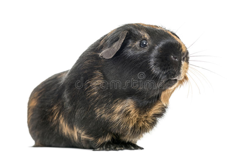 Black and brown guinea pig, isolated royalty free stock photography