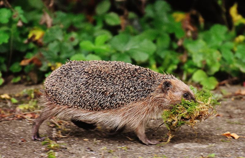 Black and Brown Hedge Hog stock photos