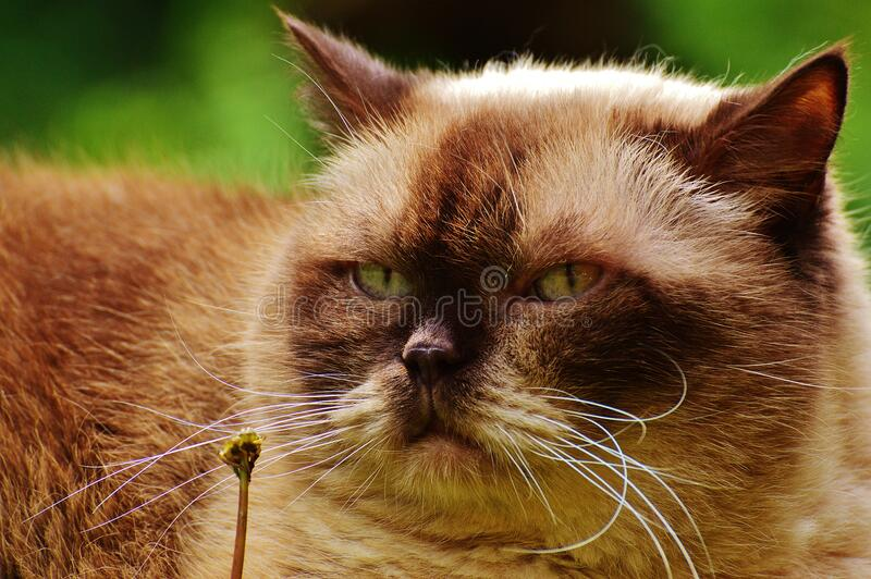 Black and Brown Himalayan Cat Close Up Photography stock photography