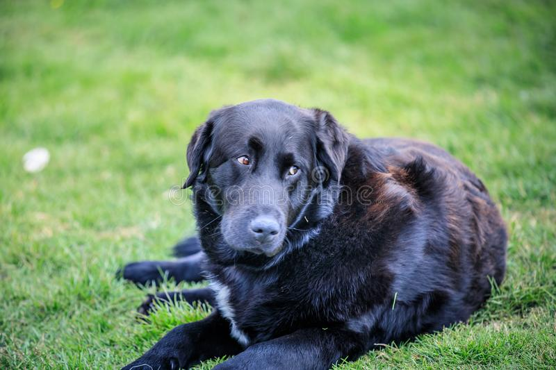 Black and brown labrador dog lies on the grass stock photo