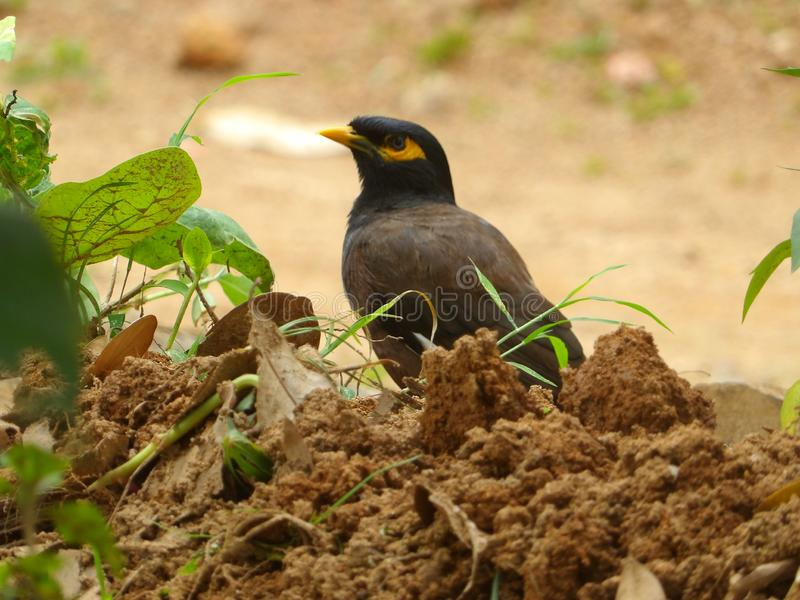 Sri lankan nature black and brown billed. Black and brown nature billed in gardene srilankan stock photography