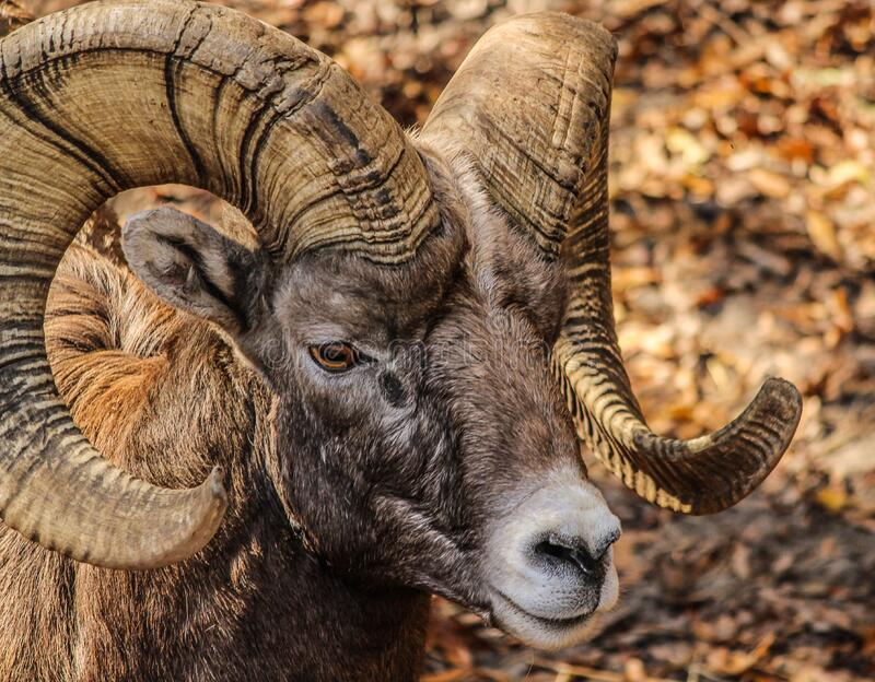 Black and Brown Ram Animal royalty free stock photo