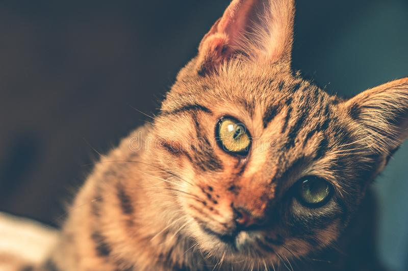 Black and Brown Tabby Cat royalty free stock images