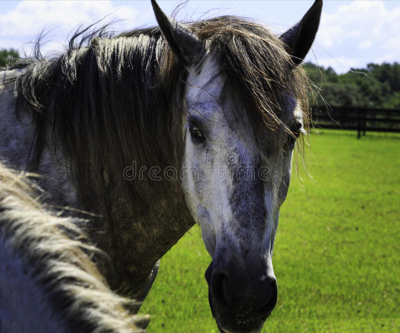 Black, brown and white horses in field in daytime. Horses relaxing in field with brown fence during the middle of the day. Colors are brown, black and white royalty free stock image