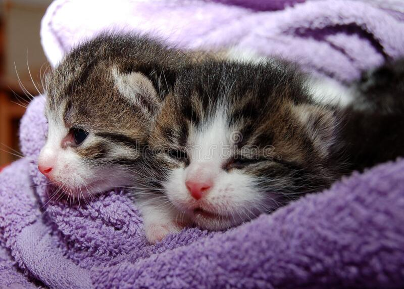 Black Brown And White Kittens In Purple Towel Free Public Domain Cc0 Image