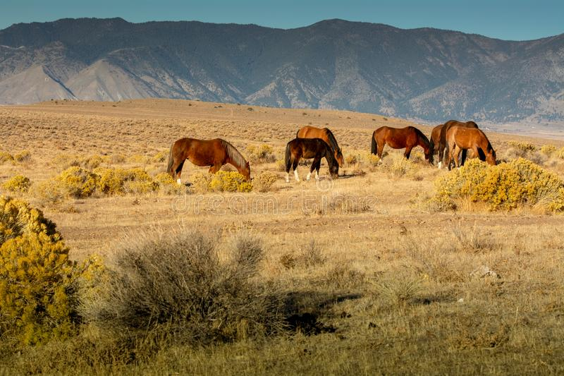 Black and brown wild mustangs in the desert. Black and brown wild mustangs grazing in a desert in Nevada, USA with mountains the background stock images