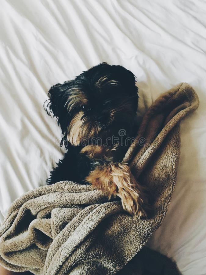 Black And Brown Yorkie Laying On Bed With Brown Towel Free Public Domain Cc0 Image