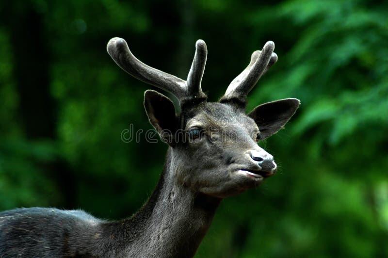 Black Buck Stock Images