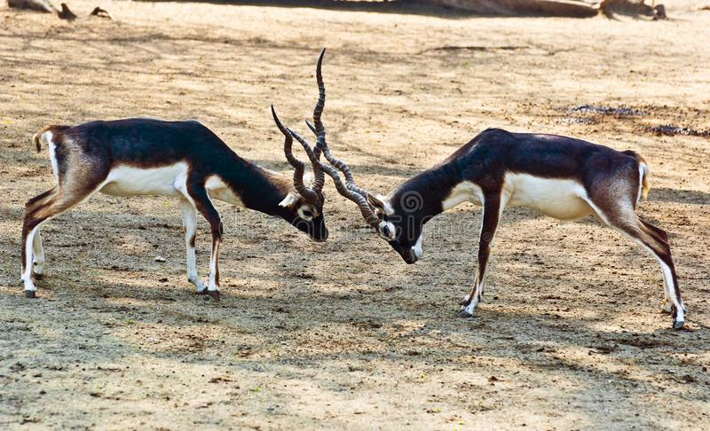 Download Black Buck stock photo. Image of mating, fight, stun - 27035954